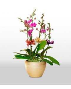 3支蝴蝶蘭連花盆 (品種:滿天紅)