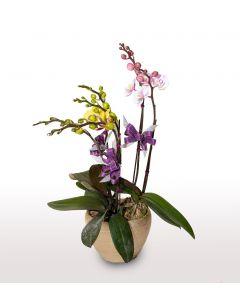 3支蝴蝶蘭連花盆 - 2色混合 (品種:小櫻及金公主)